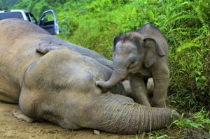 An+dead+elephant+at+the+Gunung+Rara+Forest+Reserve+in+Sabah